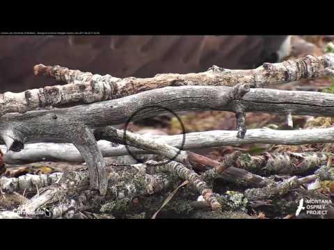 Egg #1 Laid By Iris on Hellgate Osprey Cam! (Edited) — April 26, 2017 - 동영상