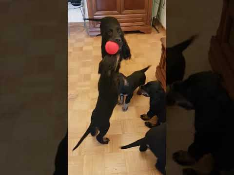 Scottish Coffee FCI - Play with mother - Gordon Setter puppies 8 week