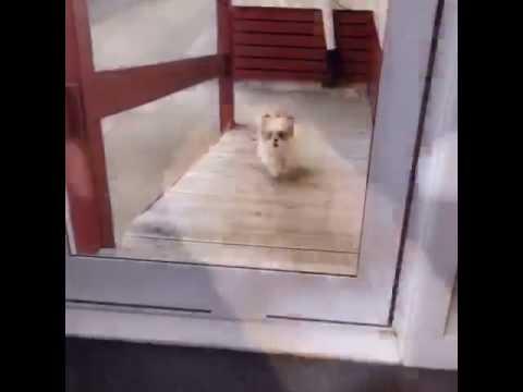 Dog Runs Into Glass Door Youtube