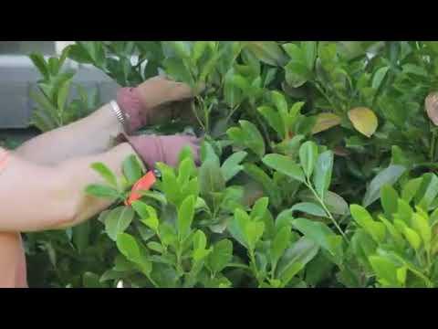 How to Trim & Shape Hedges
