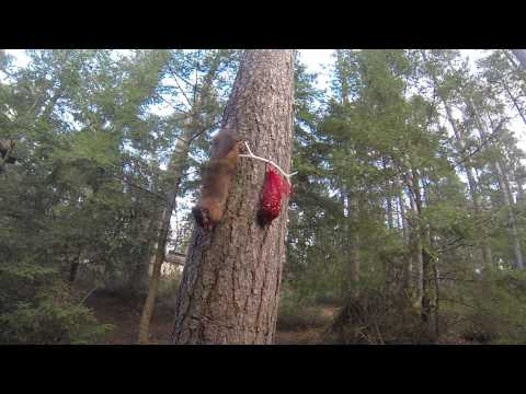 Squirrel robbing me nuts