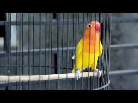 SUARA BURUNG : Pertarungan Love Bird Ngekek Panjang, Calon Juara Nasional