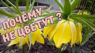Почему не цветут императорские рябчики?