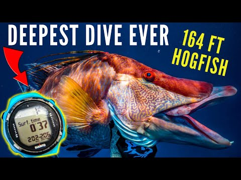 Spearfishing Bahamas Deepest Dive Ever {164 Ft Hogfish}