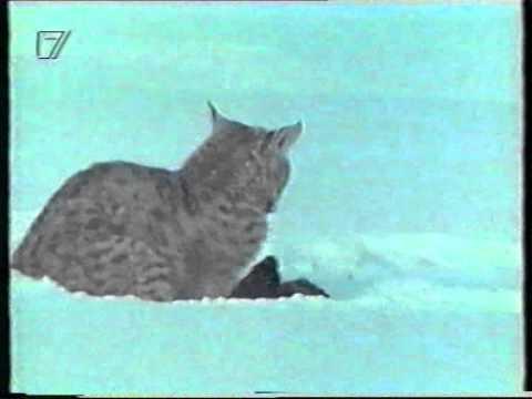 Mink Vs Bobcat