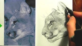 How to draw a Mountain Lion -lesson 2 in -realism drawing tips.