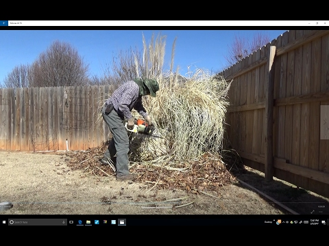 TRIMMING PAMPASS GRASS TOPNOTCH STYLE
