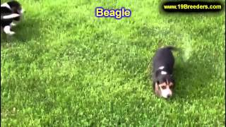 Beagle, Puppies, For, Sale, In, South Bend, Indiana, County, In, Allen, Hamilton, St  Joseph, Vander