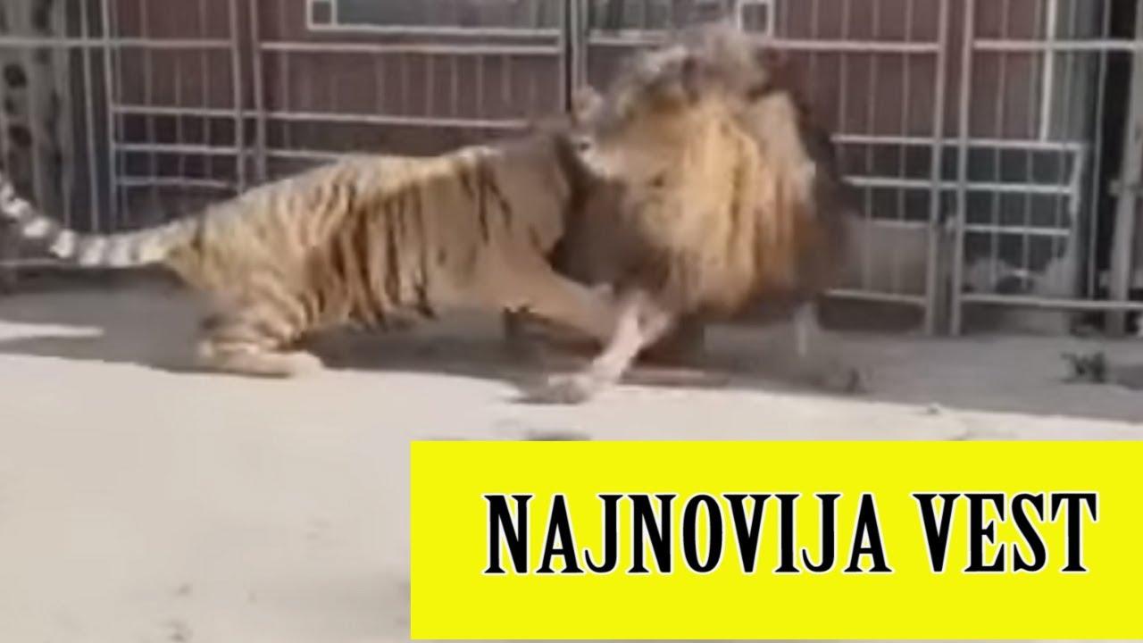 TRAGEDIJA U ZOOLOŠKOM VRTU Tigar preklllao ženu!