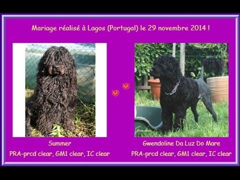 Chiots de race chien d'eau portugais à adopter ! - YouTube