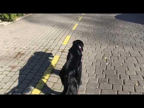 HAKER Flat Coated Retriever |PETSI
