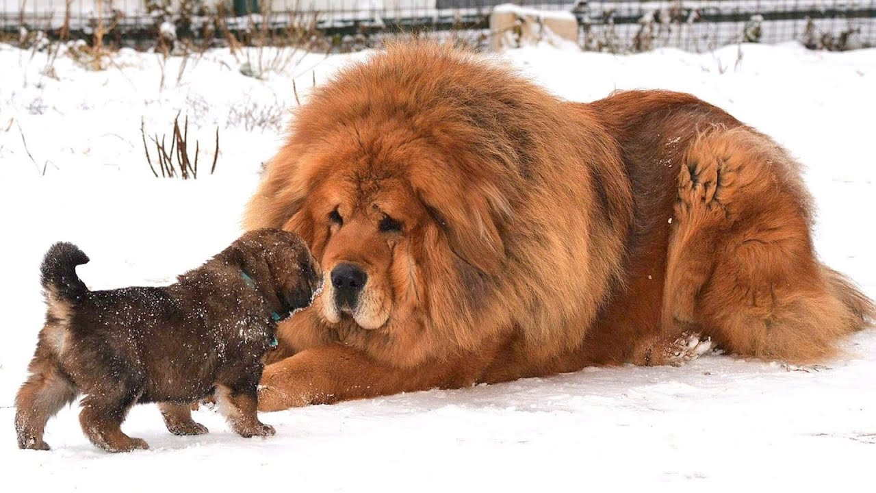 9 ФАКТОВ о БОЛЬШИХ ТИБЕТСКИХ МАСТИФАХ, которые вы не знали!   Порода собак Тибетские Мастифы