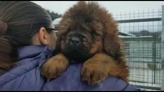Щенки тибетского мастифа 50 дней. Собака лев. - http://beliy-lekar.ru