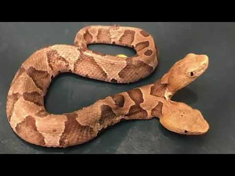 Rare two headed  Eastern Copperhead found in Virginia