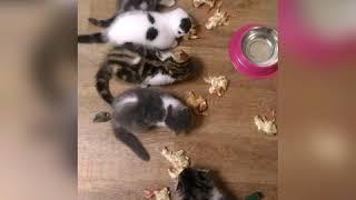Шотландские вислоухие котята. Продажа
