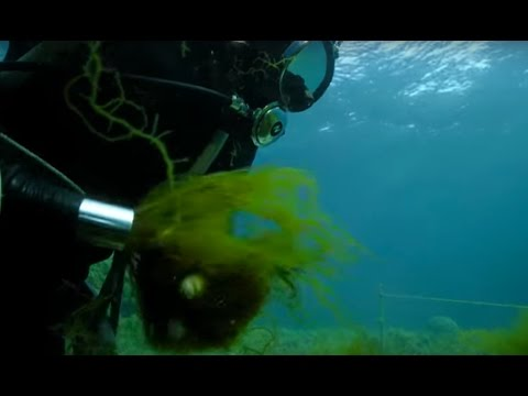 Sucking Up Seaweed? | Wild Japan | BBC Earth