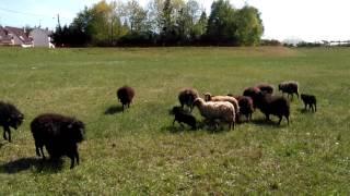 Des moutons à Orléans !