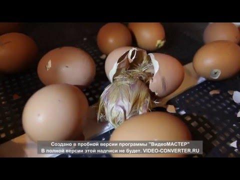 21-й день. Рождение цыплят в инкубаторе Несушка БИ-1