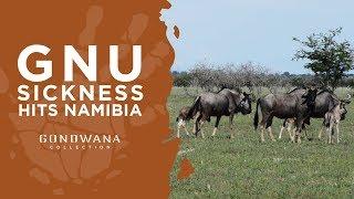 Gnu Sickness Hits Namibia