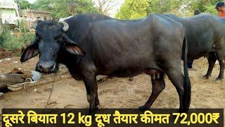 12 KG milk Dene wali buffalo