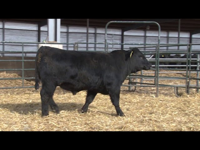 Schiefelbein Angus Farms Lot 215