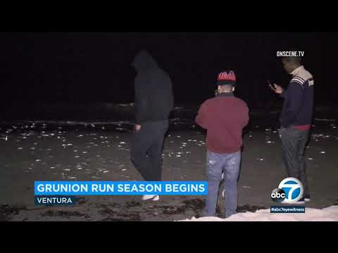 Where To Spot Annual Grunion Runs In Southern California | ABC7