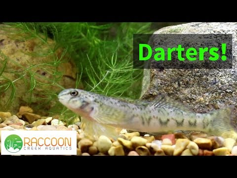 How To Keep Darters In A Planted North American Native Tank