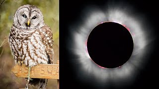 Owl vs Eclipse - See how Morgan the owl reacts to totality!