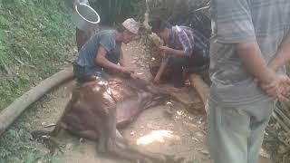 Animal Abuse  cutting buffalo