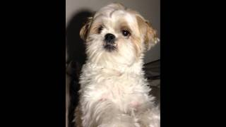 [shih Tzu] Ewok Singing