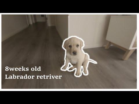 We Got 8 Weeks Old Labrador Puppy!