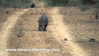 Peccary Hunting