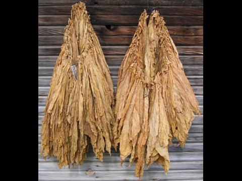 How to grow tobacco sowing to curing
