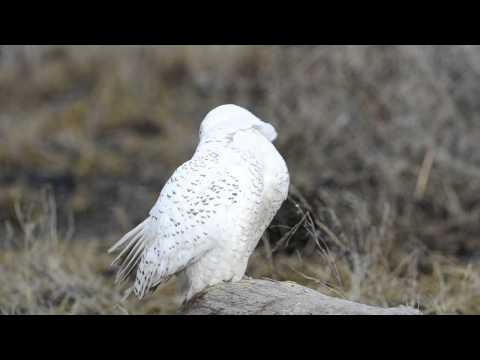 Snowy Owl Cleaning Itself