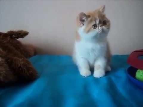 Gatos exoticos pelo corto en venta