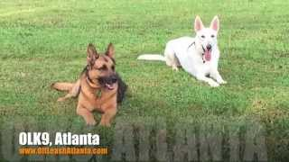 "1 Year Old German Shepherd ""saboo"" Before/after Video 