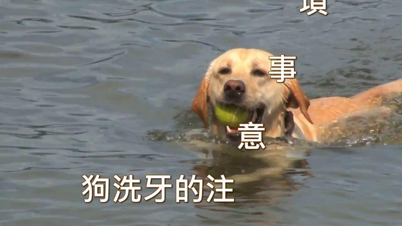 狗洗牙的注意事項 - YouTube