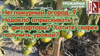 Негламурный огород-9. Смарт-ускорение созревания томатов и защита от фитофторы без опрыскиваний!