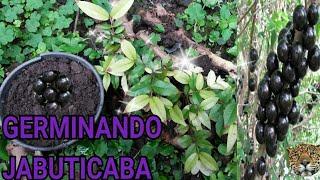 Como plantar jabuticaba diretamente da semente, e  manter saudável apenas com adubo(estérco)