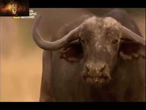الحياة البرية | منطقة عراك الأسود [Mr Royal] - YouTube