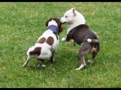 Springer Alfie Moon & Staffordshire Bull Terrier Milo whizzing.