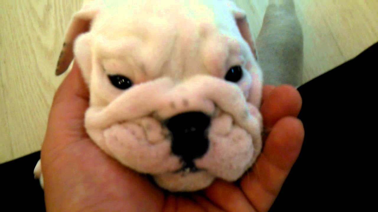 Micro Teacup English Bulldog Puppies For Sale Youtube