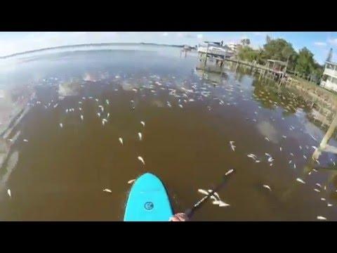 Banana River Fish Kill 2016
