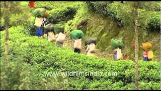 Women carrying tea leaves in Munnar, Kerala