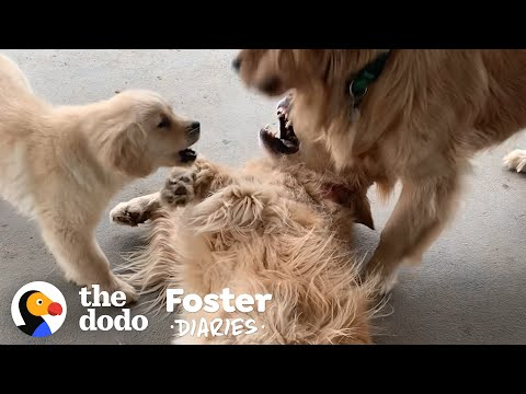 Golden Retriever Puppy Makes Her Foster Mom Cry When She Gets Adopted | The Dodo Foster Diaries