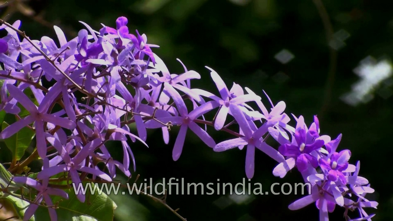 Petrea Volubilis Or Purple Wreath Named After Lord Petre Youtube