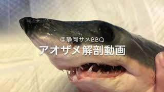 サメ標本作製ベテラン高校生によるアオザメの解剖@静岡サメBBQ Isurus oxyrinchus, Shortfin mako shark