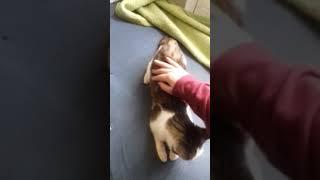 Как меняется настроение у кошки во время течки
