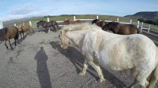 Iceland Day 11 - Laxnes farm horse adventure!