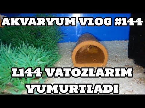 Akvaryum Vlog #144 (L144 Vatozlarım Yumurtladı)